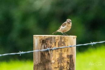 Whinchat ?