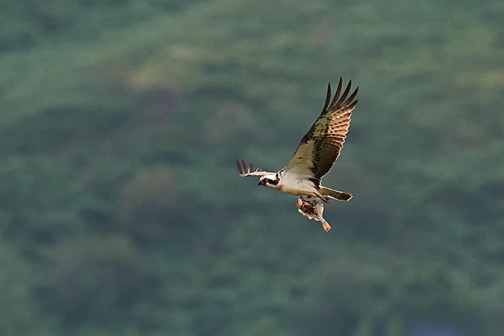 Osprey at the river Dyfi