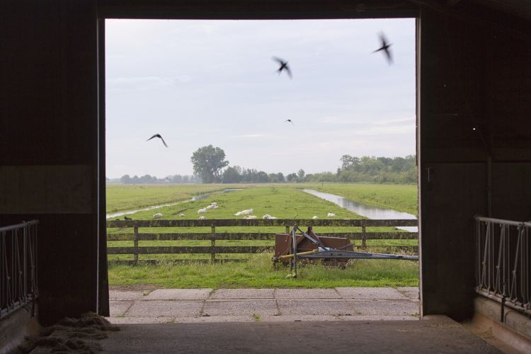 Storytelling: boerenzwaluwen en een oer-Hollands landschap