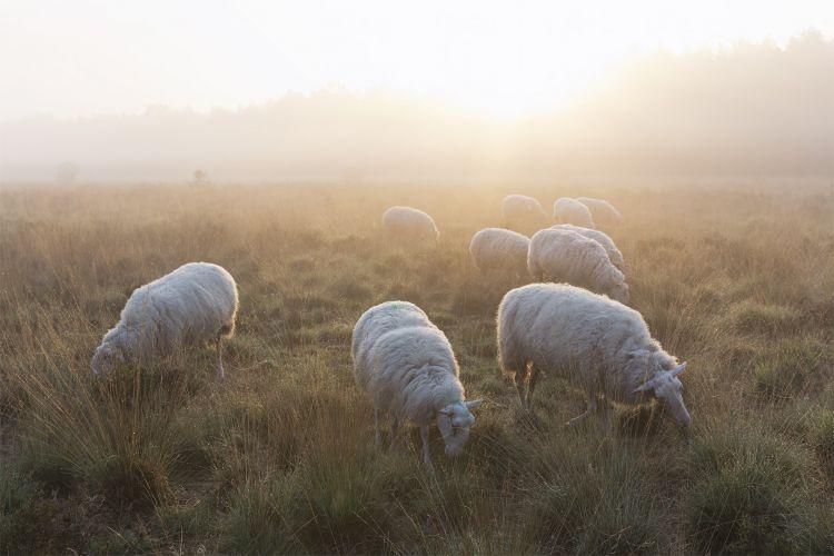 Dwalen met de kudde: zacht licht en mist