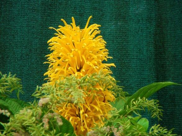 Yellow Jacobinia/ brazilian plume