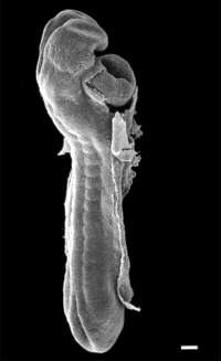 A scanning Electron Microscope view of the embryo (dorsolateral view). About 24 days.