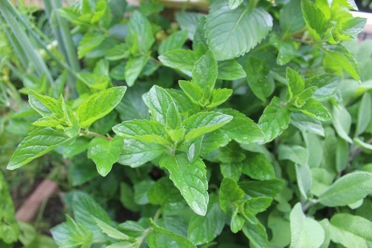 Mint growing in garden.JPG