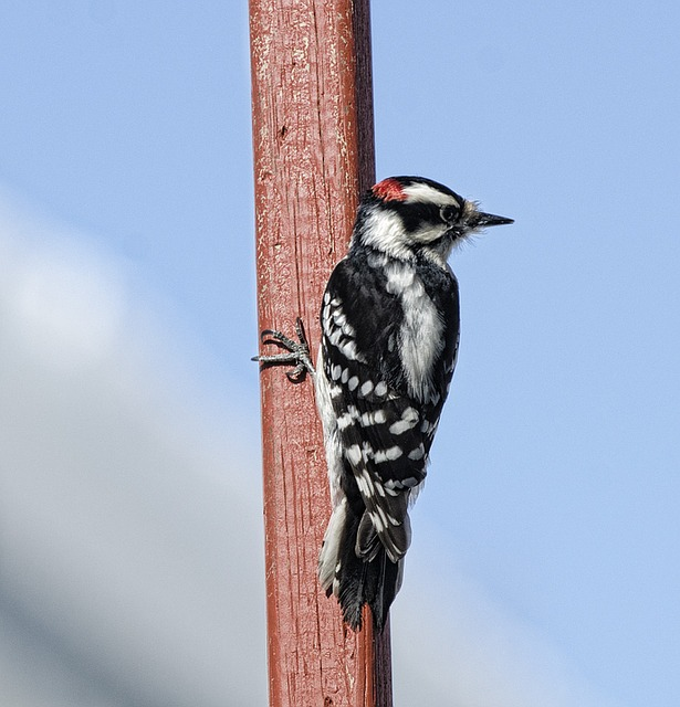 downy-woodpecker-1251480_640