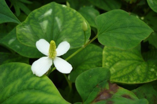Medicinal uses of Houttuynia cordata in China