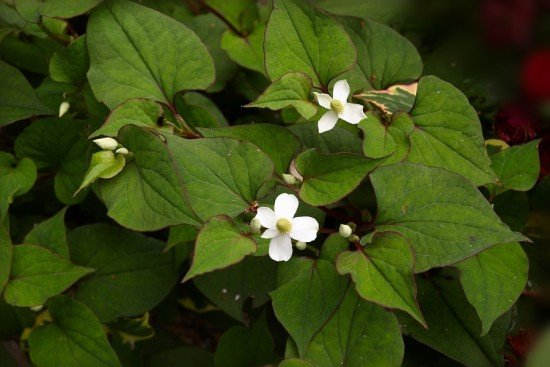 Houttuynia cordata one of the most edible plant genetic resources