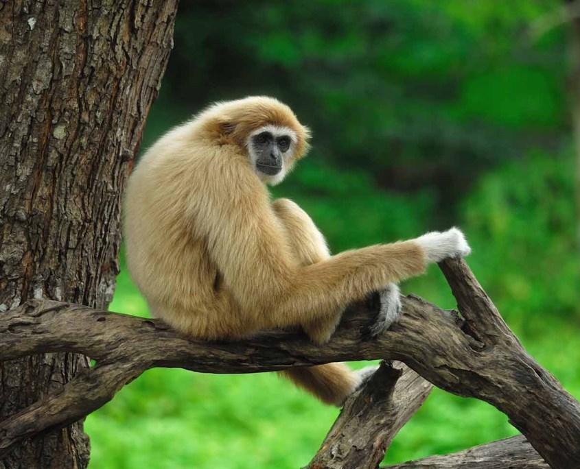 monkey-phuket-4