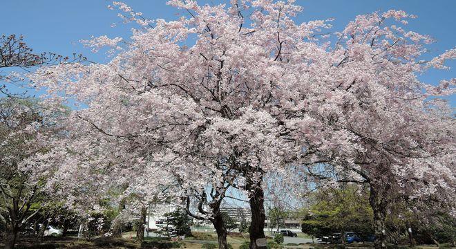 緑の森公園の桜(埼玉県越谷市越ヶ谷)