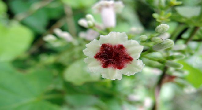 ヘクソカズラの花-4