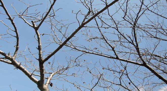 葉っぱを食べ尽くされた桜の木