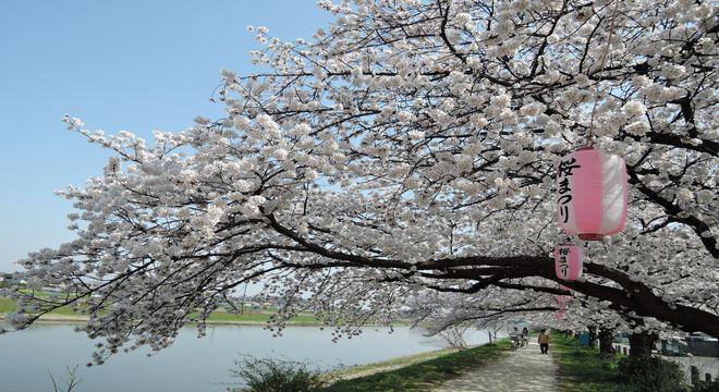 古利根川の桜-1