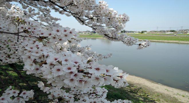 古利根川の桜-2