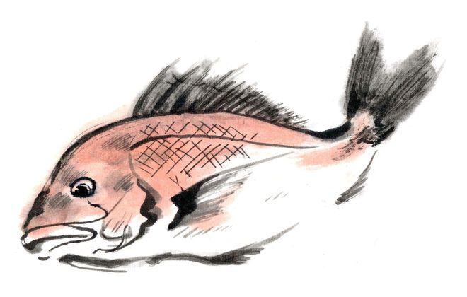 桜鯛のイラスト