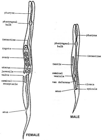 Diagram Of Dissected Lilly Vinegar Eels The Reproductive System