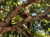 A macaw in a mango tree.