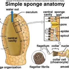 Giant Octopus Diagram Kidde Smoke Alarm Wiring Glass Sponges - Phylum Facts