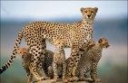 Cheetah with kids