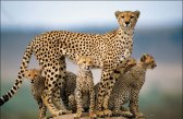Cheetah with kids