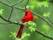 Red-Wild-Bird