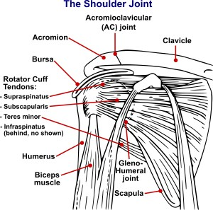 By National Institute Of Arthritis And Musculoskeletal And Skin Diseases (NIAMS); SVG version by Angelito7 - Shoulderjoint.PNG, Public Domain, https://commons.wikimedia.org/w/index.php?curid=29907860