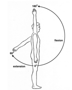 Humeral flexion and extension.