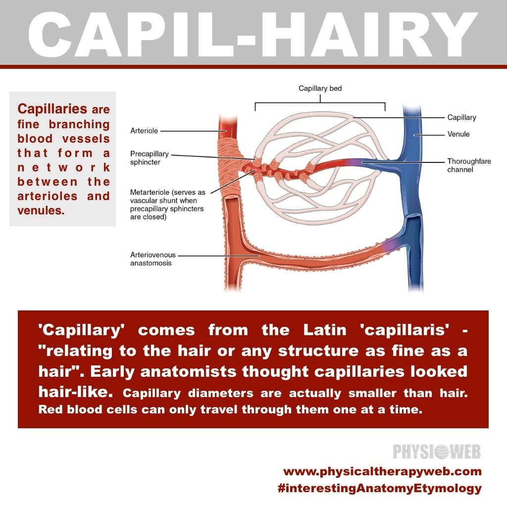 Interesting Anatomy Etymology - Capillary
