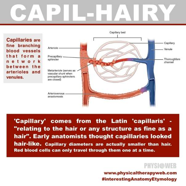 Interesting Anatomy Etymology - Capillary