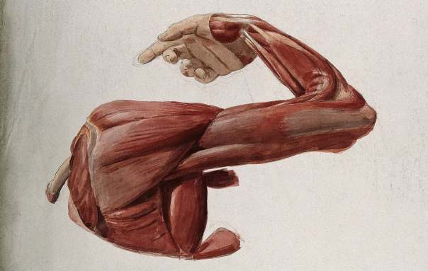 Dissection of Shoulder Muscles - Hawkins Test