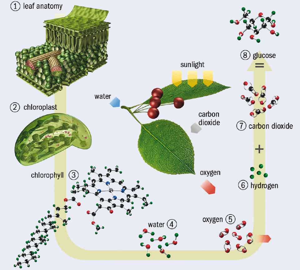 hight resolution of diagram of photosynthesis
