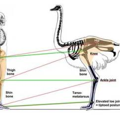 Ostrich Skeleton Diagram Wiring For Switch With Pilot Light Animal Locomotion The Reason An Can Maintain Such High Speeds A Long Period Of Time Is Because Bone Structure Closer Leg S Muscle Mass