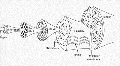 Structure and Function of Ligaments and Tendons