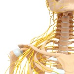 nerves of the upper trap