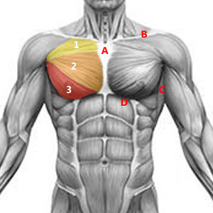 Anatomie du grand pectoral