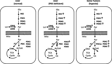 Reprogramming of aerobic glycolysis in non‐transformed