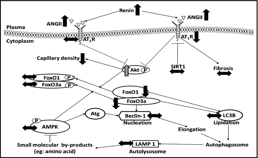 Low birth weight activates the renin–angiotensin system