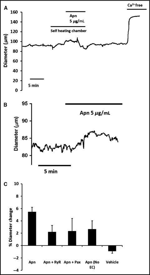 Lack of direct effect of adiponectin on vascular smooth