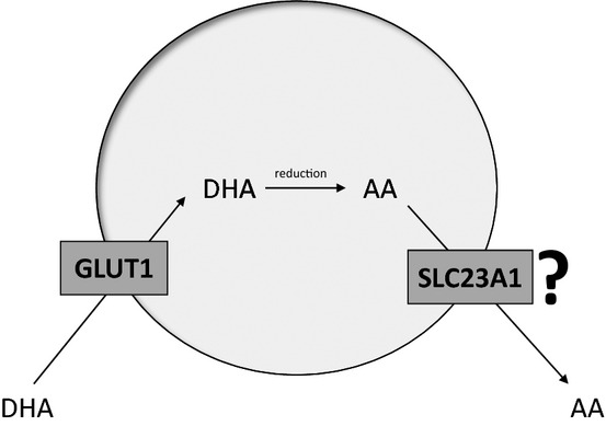 The human sodium‐dependent ascorbic acid transporters