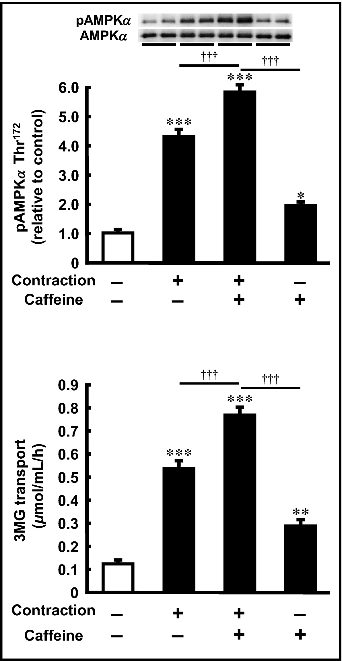 Caffeine and contraction synergistically stimulate 5′‐AMP