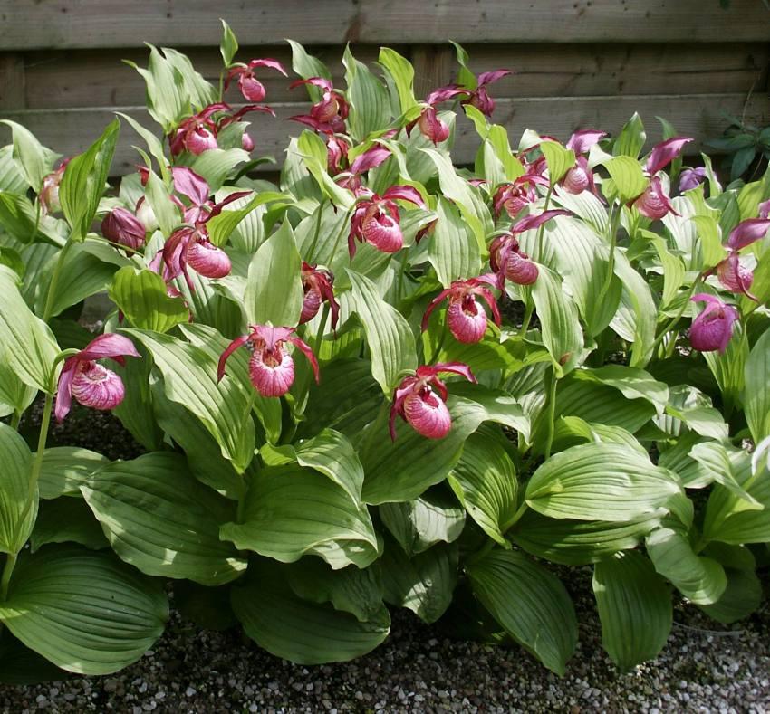 Orchidées de Jardin chez Phytesia