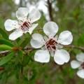 comment utiliser l'huile essentielle tea tree facilement et sans dangers, toutes ses propriétés et ses indications