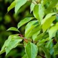 comment utiliser facilement l'huile essentielle de ravintsara et quels sont sont tous ses bienfaits et indications