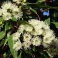 Commen utiliser facilement huile essentielle d'eucalytpus globulus, toutes ses propriétés et indications pour un bon usage sans dangers