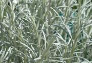 comment utiliser l'huile essentiele d'helichryse italienne facilement et toutes ses propriétés