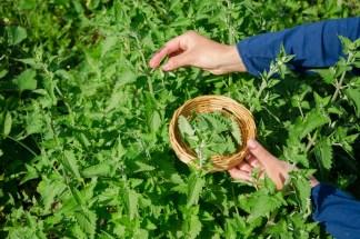 Heilpflanzen nachhaltig sammeln ist die einzig ethisch vertretbare Methode