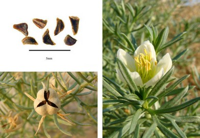 Planche botanique Harmal