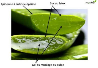 Coupe transversale d'une feuille d'Aloe