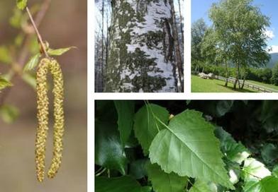 Planche botanique bouleau blanc