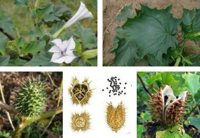Planche botanique de Datura