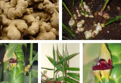 Planche botanique du gingembre
