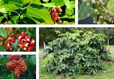 Planche-botanique-du-guarana